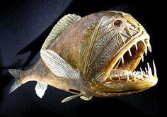 ANGLER FISH SPECIES | Angler Fish Deep Sea Creatures