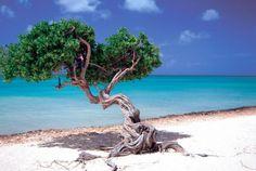 Divi-Divi Tree Westin Resort Aruba
