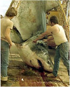 Largest Great White Shark | 1945, a 21.3ft (6.49m) shark was caught in Cuban waters and this shark ...