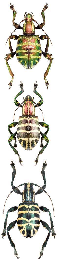 Borolinus dietmarleutzi