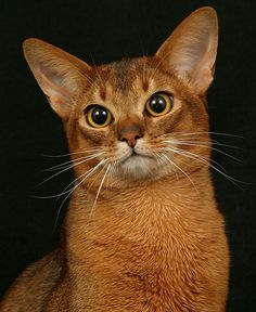 Abyssinian Cat Breeds - Cats In Care I Love Cats, Crazy Cats, Cool Cats, Beautiful Cat Breeds, Beautiful Cats, Beautiful Images, American Bobtail Cat, Cat Wallpaper, Tier Fotos