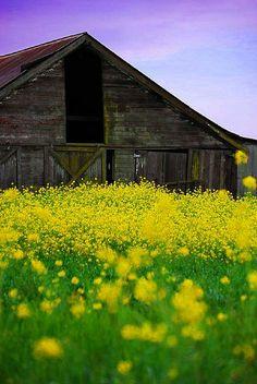 Wild mustard and a California barn.