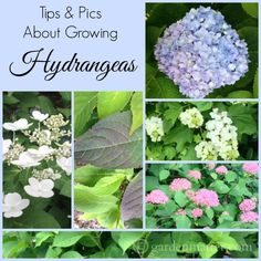 Learn why they don't bloom and a few varieties that do. #flower #hydrangea #garden #yard #shade #aboutthegarden #spring #gardeningaustralia #vintage #likegrandmausetohave