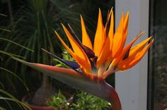 Strelitzia reginae (Bird of paradise) added by Peter Gammon. Click image to add to your plants list and to get care reminders.
