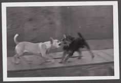 VINTAGE 1940'S PHOTOGRAPH MEXICAN CHIHUAHUA DOG & CAIRN TERRIER DOG OLD PHOTO