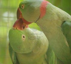 Kiss bird