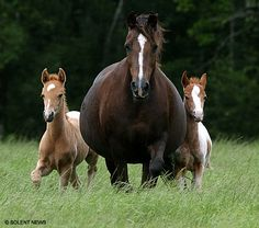 twins.  Busy mom.  Is she in foal again?  The twins don't look like yearlings...