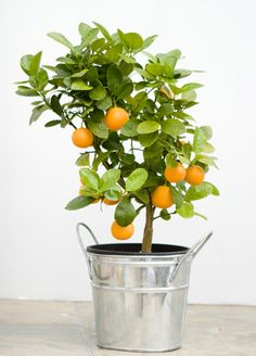 Indoor Citrus Plants - I'd love a couple of these for my balcony.