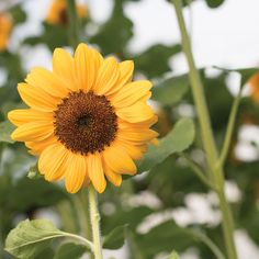 Vincent®s Choice sunflower  Johnnys selected seeds