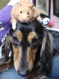 best friends (via Gustav's Dachshund World & Friends)