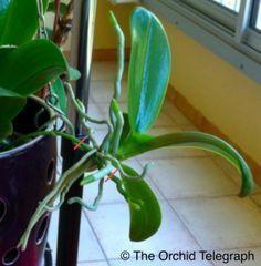 6 méthodes de multiplication d'une orchidée - Séparation des keikis
