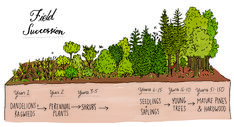 """Here, Rothman illustrates the progressing field succession, showing how a tree changes over time. Excerpted from """"Nature Anatomy"""" by Julia Rothman. Used with permission of Storey Publishing"""