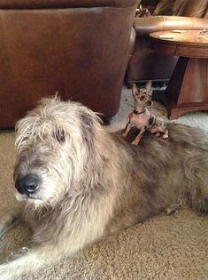 Hilarious And Crazy Photos Of Irish Wolfhounds That Show You How Large They Are Lap Dogs, Dogs And Puppies, Corgi Puppies, Doggies, Silly Dogs, Cute Dogs, Irish Wolfhound Dogs, Dog Couch, Tallest Dog