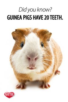 Guinea pigs typically have 20 teeth. It is important to provide safe chews to help keep teeth trim. Guinea Pig Quotes, Pet Guinea Pigs, Guinea Pig Care, Animals And Pets, Cute Animals, Science And Nature, My Animal, Mammals, Pets