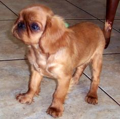 Ruby English Toy Spaniel.....want want want