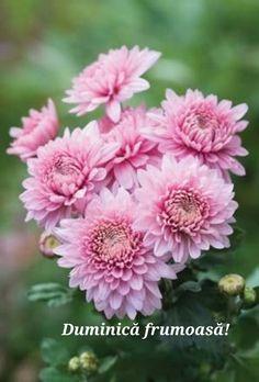 Allotment Gardening, Chrysanthemum Flower, Cut Flowers, Sprays, Dahlia, How To Stay Healthy, Perennials, Planting Flowers, Beautiful Flowers