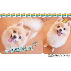 (❤️my everything❣️) あ〜もう愛おしくて…❤️ # ルノンわ私の天使.。 . もうすぐ #2歳 完全に #親バカ  , #犬 #ポメラニアン #可愛い #大好き #ポメ  #家族 #もふもふ  #ふわふわ #愛犬 #lunon #dog #Pomeranian #❤️ #myeverything #family #fam # #cute #cutest #pretty #beauty # # #happy #love #pet #mypet