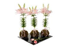 lili asiatica
