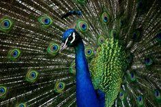 Peacock   Holly's Artsy Haircut