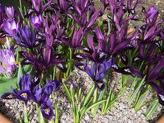Iris reticulata (Iridaceae)