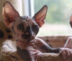 Dizzee my sweet little sphynx. Hairless cat tortie.