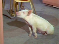 Arnold Ziffel from Green Acres