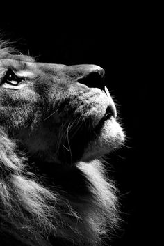 photo de lion en noir et blanc