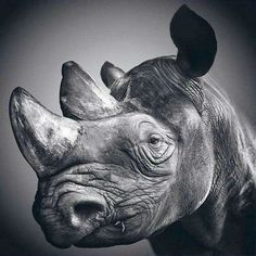 What a magnificent face!    (Animal Pencil Drawing Art by Paul Lung)