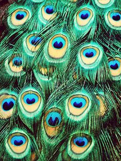 Peacock's Tail Feathers - Flickr - Photo Sharing!