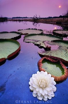 Giant water lily, Victoria regia, Paraguay River, Pantanal, Brazil