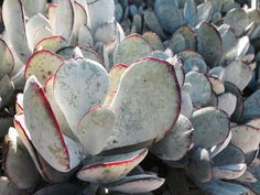 Cotyledon sp at the Wave Garden | Flickr - Photo Sharing!