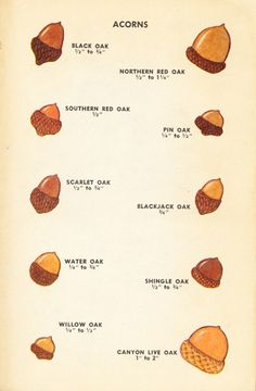 Acorns, iIllustrations by Dorothea and Sy Barlowe, 1952 Tree Leaf Identification, Acorn Tattoo, Acorn Crafts, Acorn And Oak, Nature Journal, Tree Leaves, Tree Designs, Oak Tree, Nature Crafts