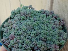Sedum dasyphyllum 'Minor' is a small, perennial succulent plant, up to 5 inches (12.5 cm) tall when in flower, with blue-green and purple (more purple...