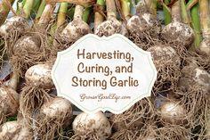 Harvesting, Curing, and Storing Garlic #garlic #garden