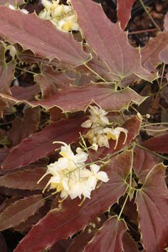 Epimedium 'Sandy Claws' - look for it in the Plant Delights spring catalog.