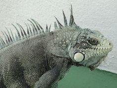 Este lagarto amanheceu aqui na piscina.Veio tomar banho!!!!