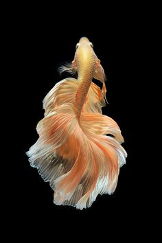 Siamese fighting fish or betta fish over black background Animal Art Ballet Betta Fish Black Background Dance Dancer Dress Dynamic Fashion Fins Fish Inspiration Moment Pet Photography Show Siamese Fighting Fish Speed Swim Swimming Tail Thailand Underwater Visarute