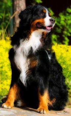 Inne nazwy tej rasy psów: Berneński pies pasterski, Bernese Mountain Dog, Berner Sennenhund, Bernese Cattle Dog, Bouvier Bernois