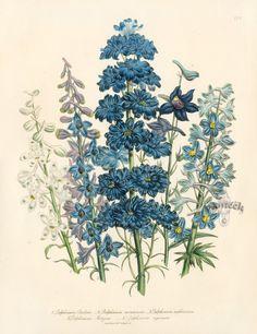 Delphinium Barlowu botanical by Jane Loudon