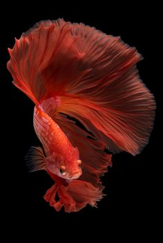 Pretty Fish, Cool Fish, Beautiful Fish, Fish Tank Themes, Betta Fish Types, Goldfish Pond, Beautiful Sea Creatures, Beta Fish, Siamese Fighting Fish