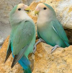 Love Birds | Animals