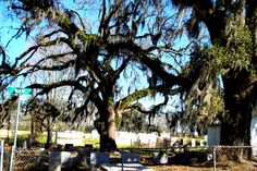 Madisonville cemetery - Louisiana Lake Pontchartrain, New Orleans Louisiana, North Shore, Cemetery, Plants, Plant, Planets