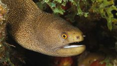 Eels are aquatic animals that have an interesting life cycle that has eluded many scientists for many many years. Eels and their young look nothing al. Types Of Eels, Types Of Fish, All About Animals, Animals Of The World, Small Insects, Dream House Exterior, Water Life, Salt And Water, Animals