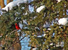 Title  Christmas Cardinal   Artist  Aimee L Maher   Medium  Photograph - Photographs