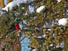 Title  Christmas Cardinal   Artist  Aimee L Maher   Medium  Photograph - Photographs