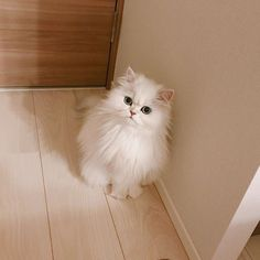 Baby Animals Super Cute, Cute Baby Cats, Cute Cats And Kittens, I Love Cats, Kittens Cutest, Cute Dogs, Cute Animals, White Persian Kittens, White Cats