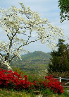 The blossom of the dogwood tree (Cornus florida) was designated as the official state flower of North Carolina in common tree in North Carolina. Western North Carolina, North Carolina Mountains, North Carolina Homes, South Carolina, Landscape Photography, Nature Photography, Dogwood Trees, Flowering Trees, Foto Art