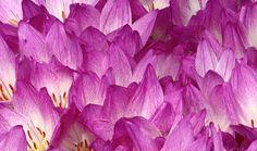 Colchicum speciosum, a meadowland species from Turkey, Iran and The Caucasus