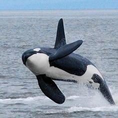 orque ! - Photo de monde sous marin ! - NATURE ET PAYSAGE DU MONDE