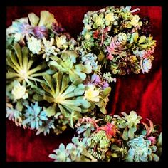 #succulent #wreath #succulentwreath #plantobsession #plant http://www.russwholesaleflowers.com/wholesale-succulent-sale  RusswholesaleFlowers.com offers the best wholesale succulent prices available to the public online.  wholesale succulents for bouquets, special events, wreaths, diy and more.  3 different sizes to meet your needs.